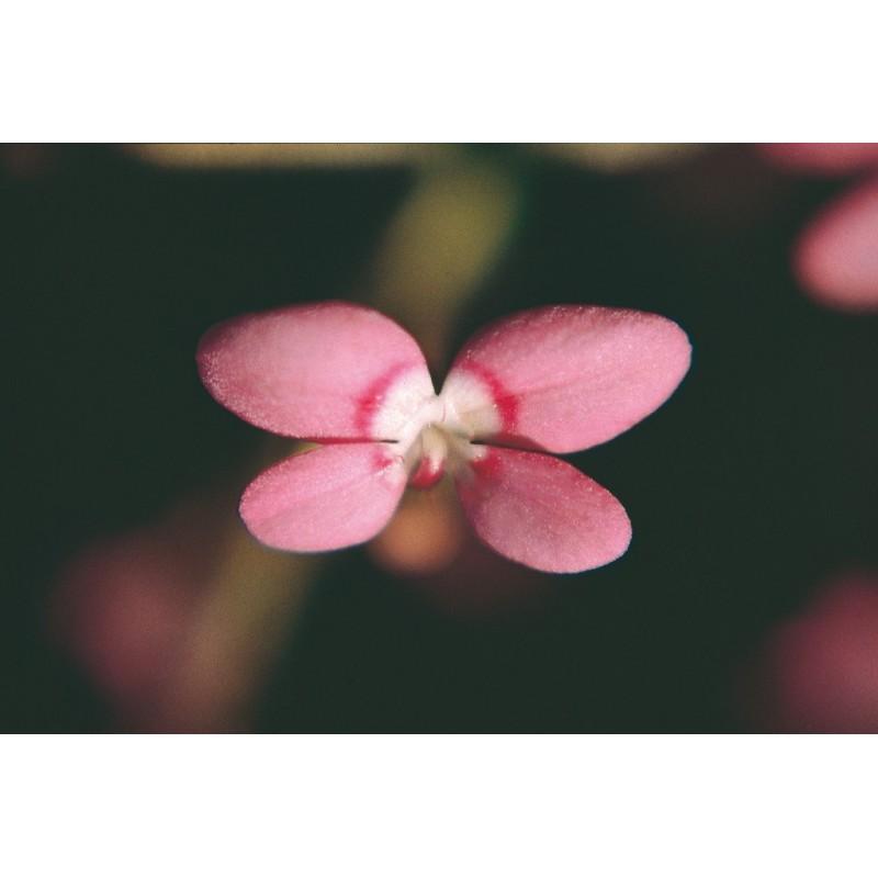 Pink Fountain Triggerplant