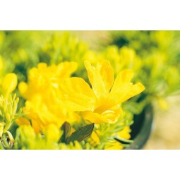 Yellow Leschenaultia