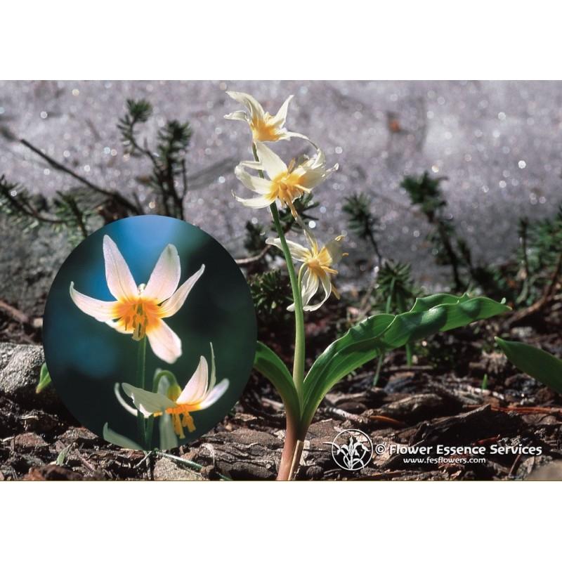 Fawn Lily (Erythronium purpurascens)