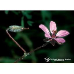 Filaree (Erodium cicutarium)