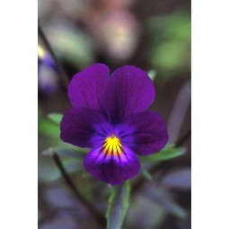 Blue Elf Viola (Viola sp.)