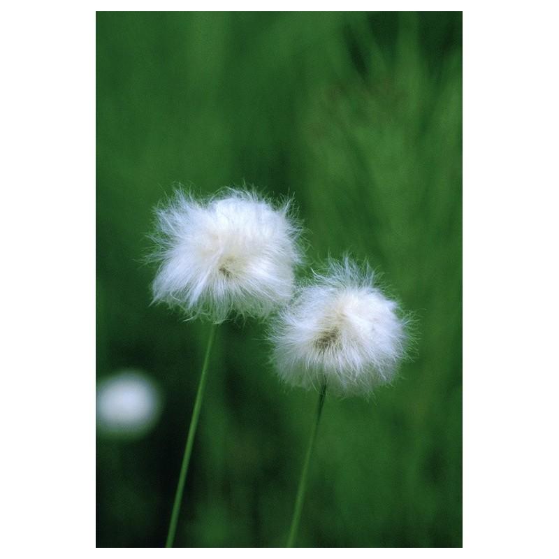 Cotton Grass (Eriophorum sp.)