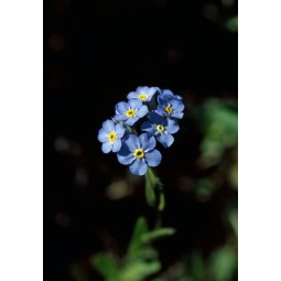 Forget Me Not (Myosotis alpestris)