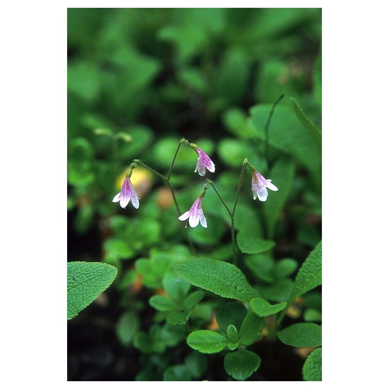 Twinflower (Linnaea borealis)