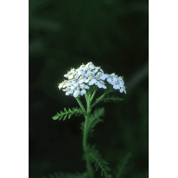 Yarrow (Achillea borealis)