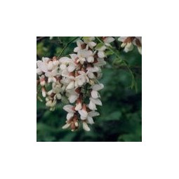 Essenza Singola del Deserto dell'Arizona - Black Locust (Robinia pseudoacacia) 10 ml