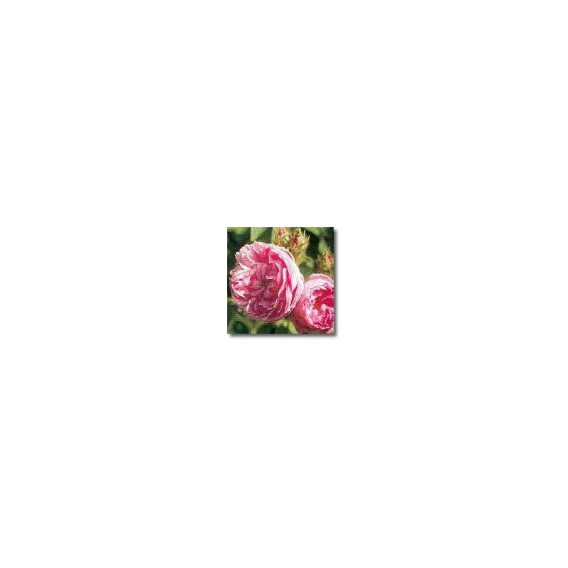 Provence Rose (Rosa centifolia)