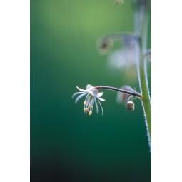 Lace Flower (Tiarella trifoliata)