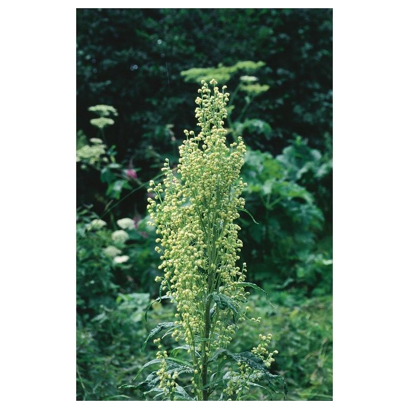 Mountain Wormwood (Artemisia tilesii)