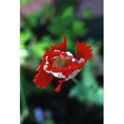 Opium Poppy (Papaver sominifera)