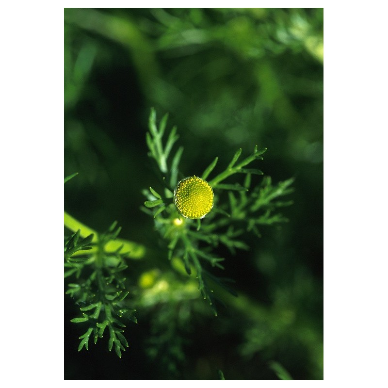 Pineapple Weed (Matricaria