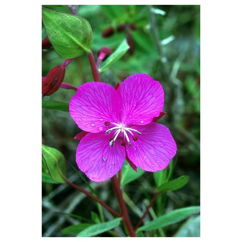 River Beauty (Epilobium latifolium)