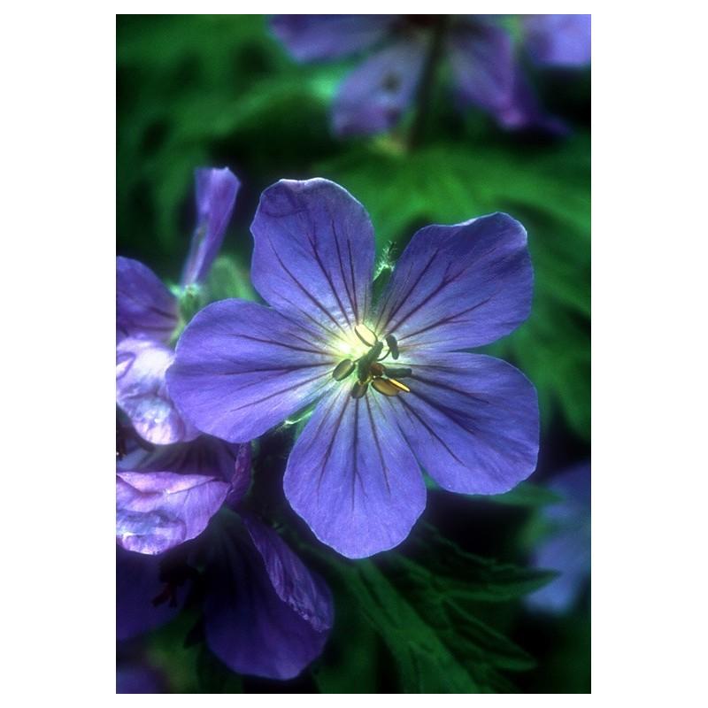 Sticky Geranium (Geranium erianthum)