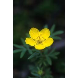 Tundra Rose (Potentilla fruticosa)