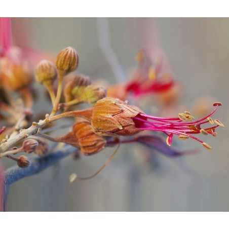 Arbusto Australiano Single Essence - Bauhinia 15 ml