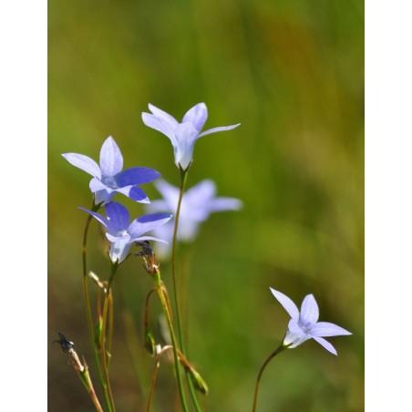 Australian Bush Single Essence - Bluebell 15 ml