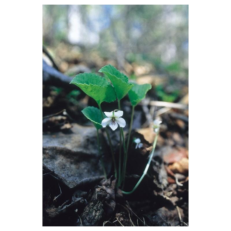 White Violet (Viola renifolia)