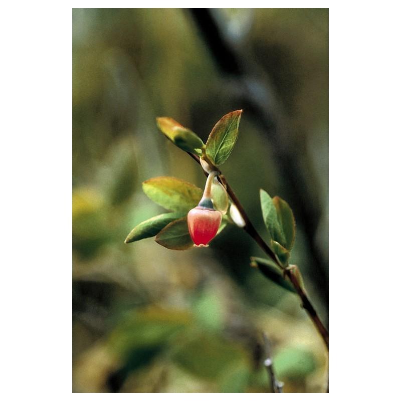 Blueberry Pollen (Vaccinium uliginosum)