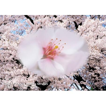 Essenza Singola Californiana FES - Cherry (Prunus avium) 7,4 ml