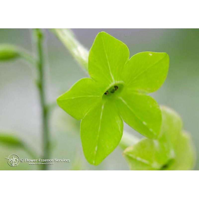 Green Nicotiana (nicotiana alata)