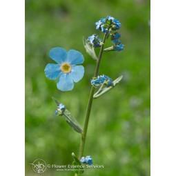 Single Californian Essence FES - Mountain Forget-Me-Not (Hackelia micrantha) 7.4 ml