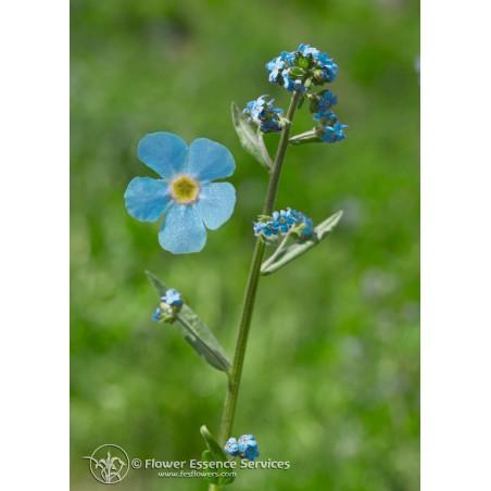 Essenza Singola Californiana FES - Mountain Forget-Me-Not (Hackelia micrantha) 7,4 ml
