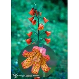 Esencia única californiana FES - Speyeria escarlata (Fritillaria recurva) 7,4 ml