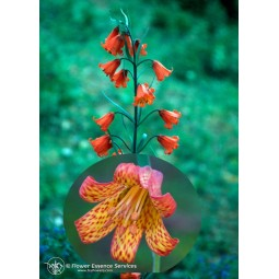 Essenza Singola Californiana FES - Scarlet Fritillary (Fritillaria recurva) 7,4 ml