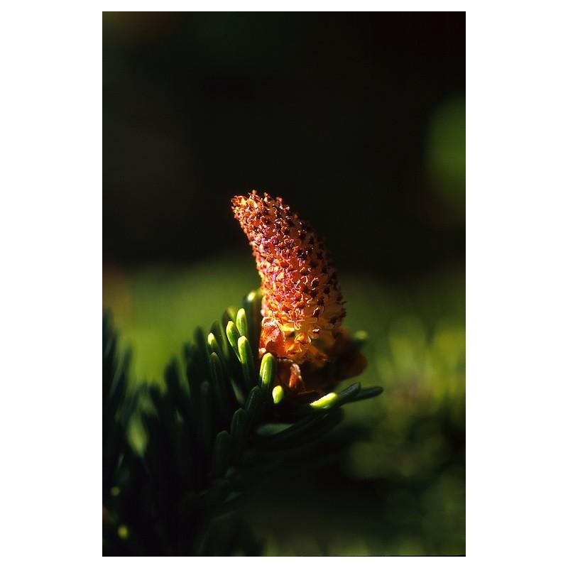 Sitka Spruce Pollen (Picea sitchensis)