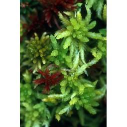 Sphagnum Moss (Sphagnum sp.)