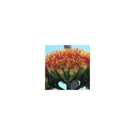 Essenza Singola del Deserto dell'Arizona - Agave (Agave palmeri) 10 ml