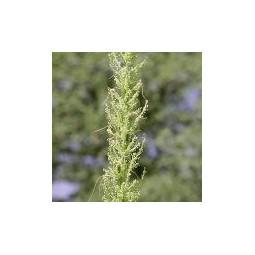 Essenza Singola del Deserto dell'Arizona - Bear Grass (Nolina microcarpa) 10 ml