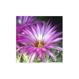 Bisbee Beehive Cactus