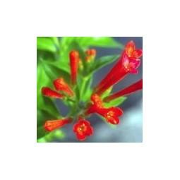 Bouvardia (Bouvardia glaberrima)