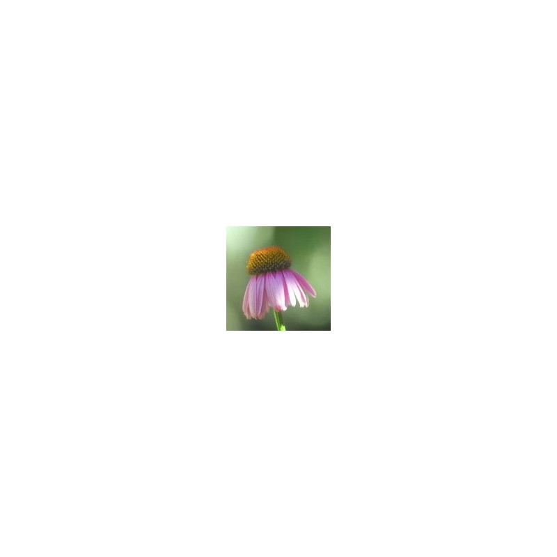 Bright Star (Echinacea purpurea)