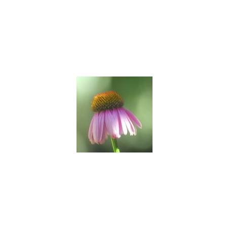 Essenza Singola del Deserto dell'Arizona - Bright Star (Echinacea purpurea) 10 ml