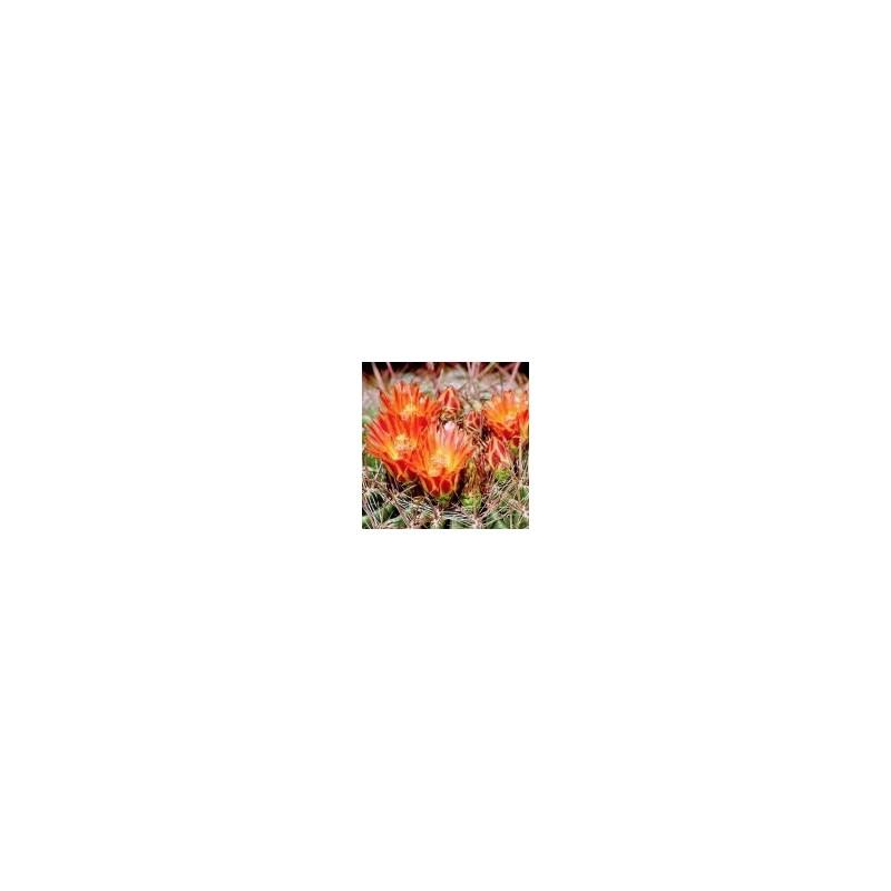 Candy Barrel Cactus (Ferocactus