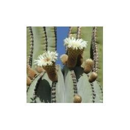 Cardon  Cactus (Pachycereus pringlei)