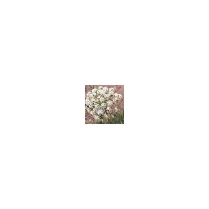 Cow Parsnip (Heracleum lanatum)