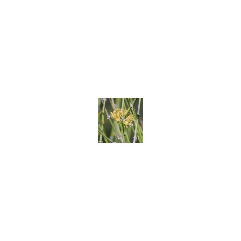 Desert Jointfir (Ephedra) (Ephedra