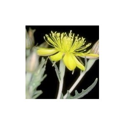 Evening Star (Mentzelia pumila)