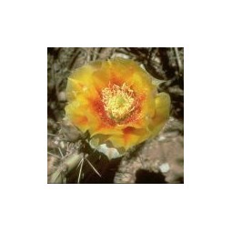 Fire Prickly Pear (Opuntia phaecantha)