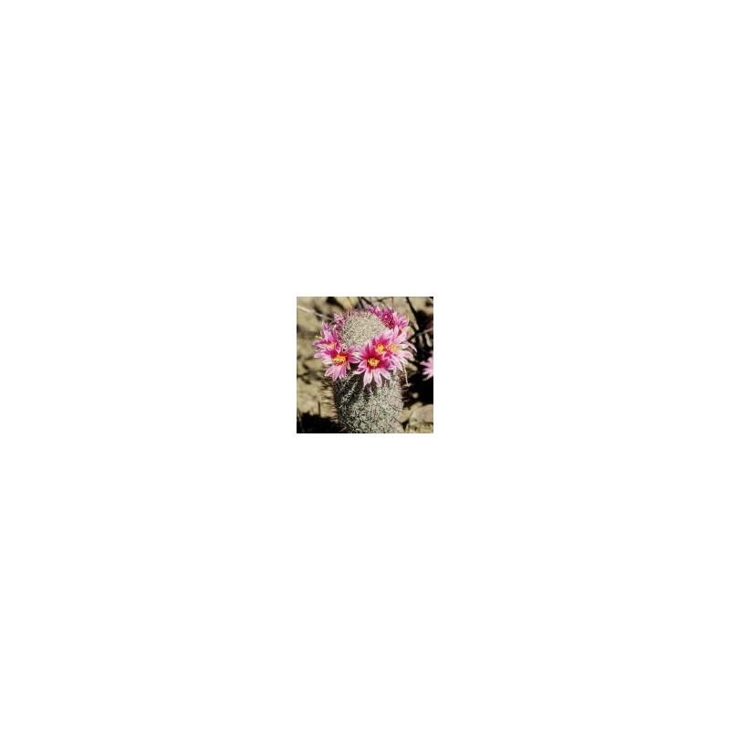 Fishhook Cactus (Mammillaria microcarpa)