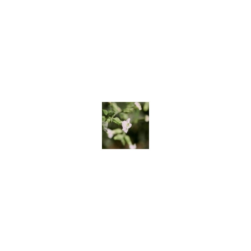 Indian Tobacco (Nicotiana trigonophylla)