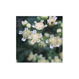 Mariola (Parthenium incanim)