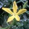 Melon Loco (Apodanthera undulata)