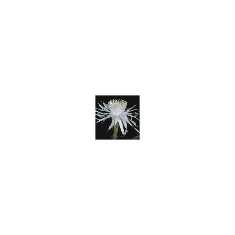Queen of the Night (Cereus greggii)