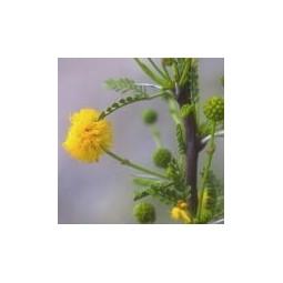 Whitethorn (Acacia vernicosa)