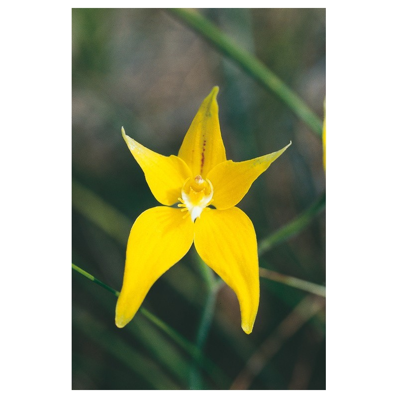 Cowslip Orchid