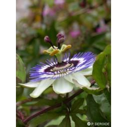 Passiflore (Passiflora sp)